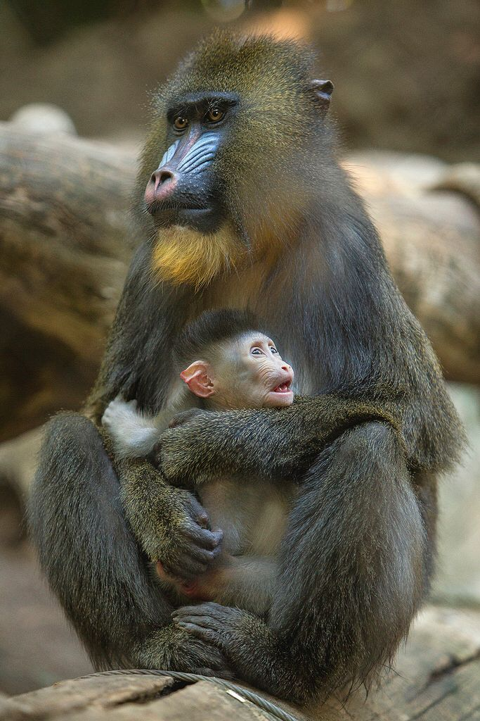 Mandrill Baby and Mother