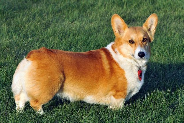 The Ideal Dog Breed For Each Mbti Type Enfp Corgi Dog Breed