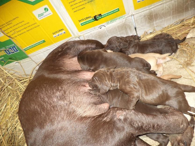 Free classified karachi German Shorthair Pointer Pups Lahore