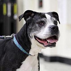 St. Louis, MO Boxer. Meet Marlie a Dog for Adoption