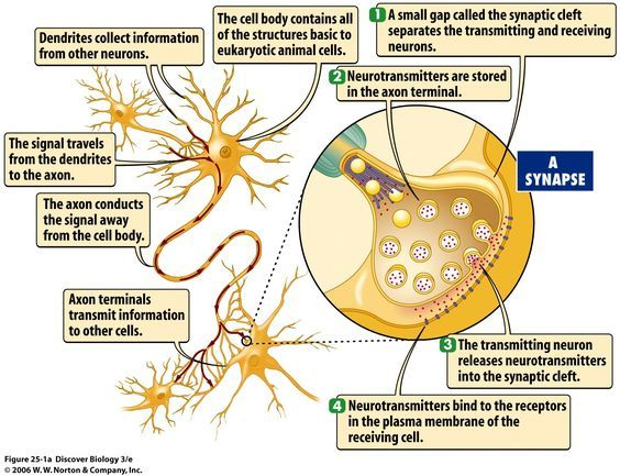What Are the 7 Neurotransmitters   releases neurotransmitter molecules into a synapse