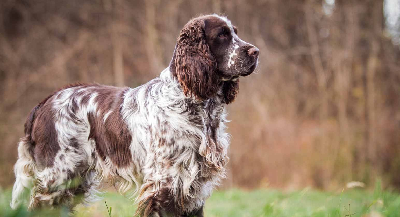 English Springer Spaniel Puppies For Sale Greenfield Puppies Spaniel Puppies For Sale Spaniel Puppies Springer Spaniel Puppies