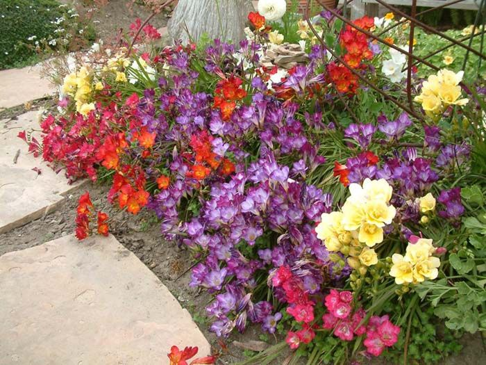 Freesia X Tecolote Hybrids Plants California Plants Freesia