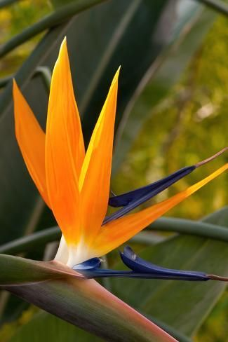 Photographic Print Close Up Of A Flowering Bird Of Paradise Plant Strelitzia Reginae By Darlyne A Murawski Birds Of Paradise Plant Birds Of Paradise Plants