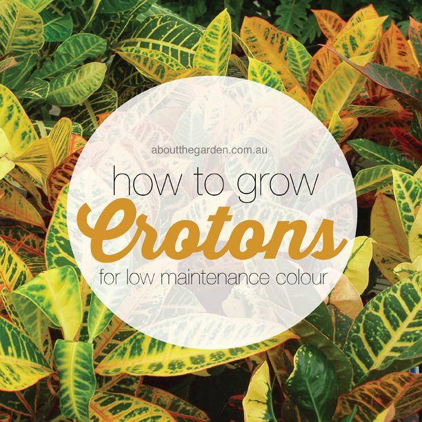 Tropical Backyard Ideas Australia: How To Grow Crotons For Low Maintenance Colour #tropical