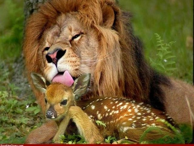 Image result for images- lion and the fawn