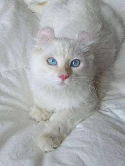 American Curl Cat For Sale
