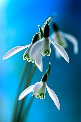 Snowdrops Flowers Photography Beautiful Flowers Amazing Flowers