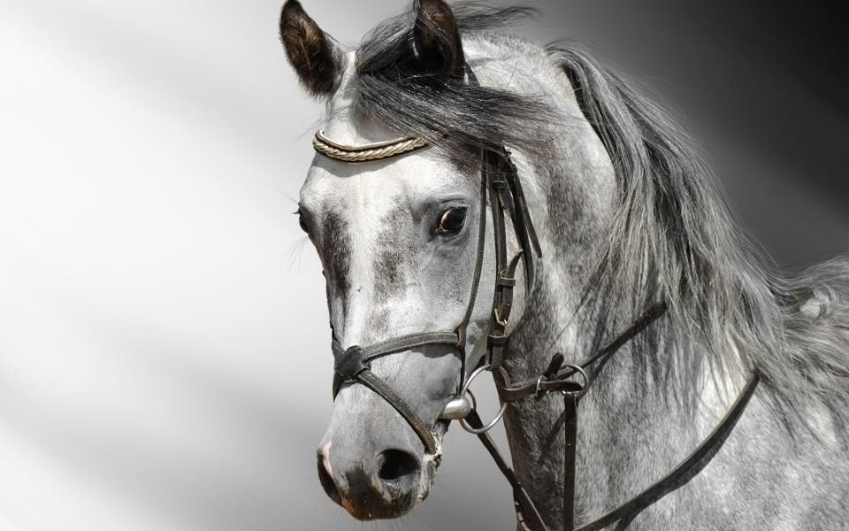 Shades Of Silver Horse Wallpaper Horses Horse Photography Black and white horse wallpaper hd