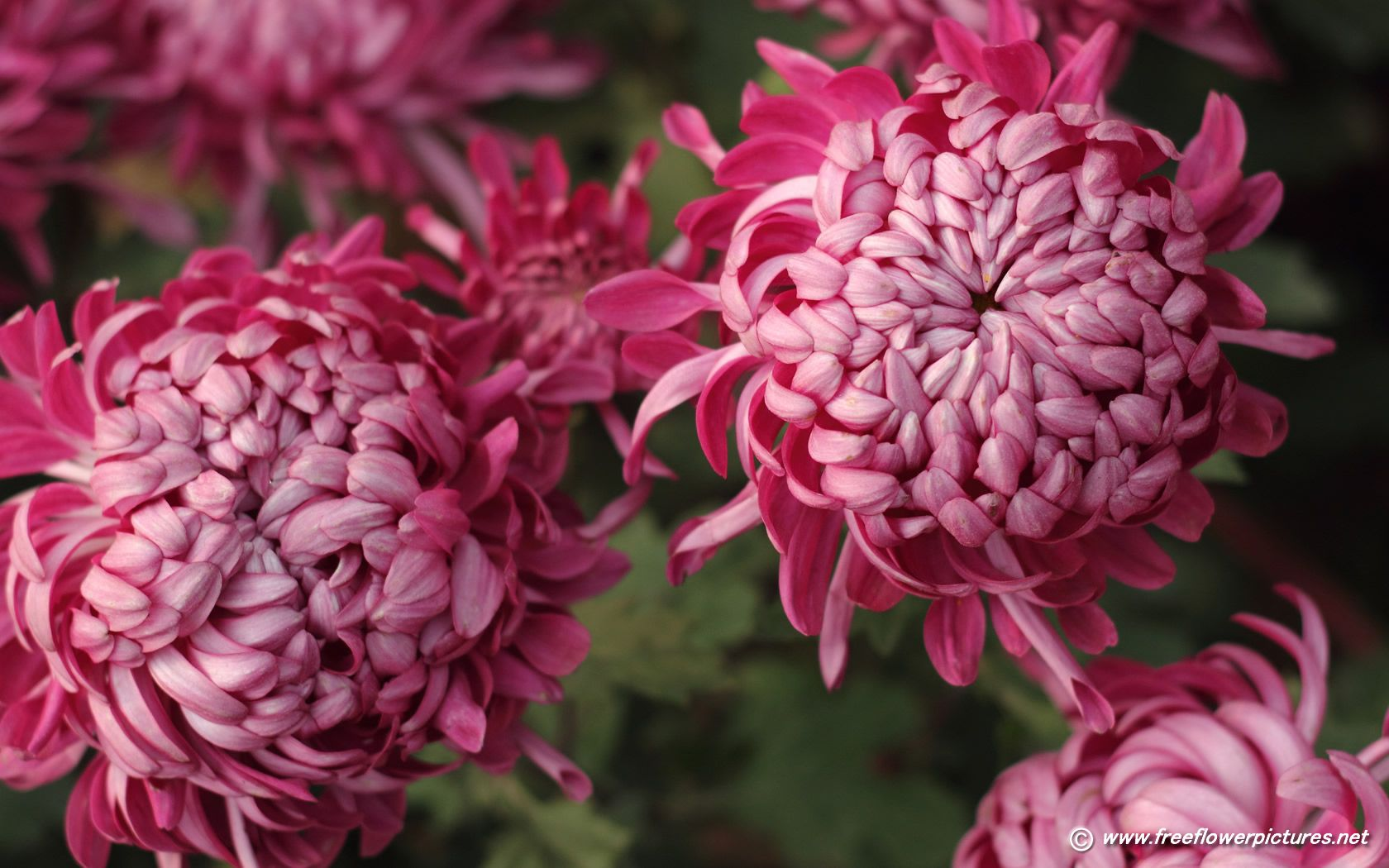 Chrysanthemum Click The Above Thumbnail To View Large Images Of Chrysanthemums Chrysanthemum Flower Pictures Chrysanthemum Flower Chrysanthemum
