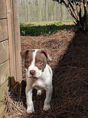 Newark De American Pit Bull Terrier Meet Wythe A Dog For