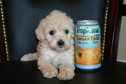 Free Classifieds Hoobly Classifieds Goldendoodle Puppy For