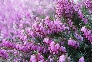 Image Result For Heather Flower Colors Evergreen Shrubs Garden Retreat Ideas