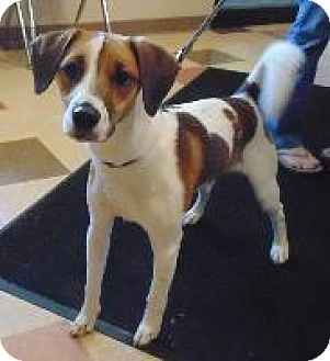 Wintersville Oh Beagle Rat Terrier Mix Meet Grady A Dog For