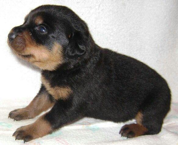Tiny Little Newborn Love Puppy Breath Rottweiler Puppies Rottweiler Puppies