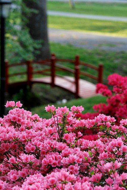 Azalea And Ebay Bridge Flower Landscape Azaleas Landscape