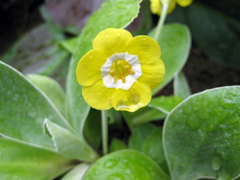 Auricule, Oreille d'ours, Primula section auricula | Vivaces, Fleurs, Cultiver
