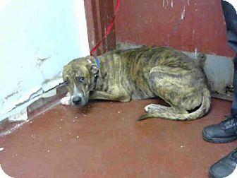 Atlanta Ga Plott Hound Great Dane Mix Meet Lucius A Dog For
