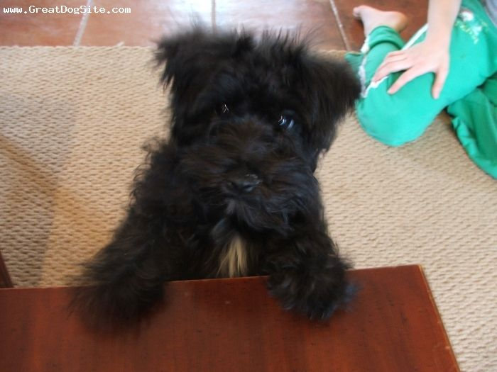 Miniature Schnauzer-Puppy-Black   puppies