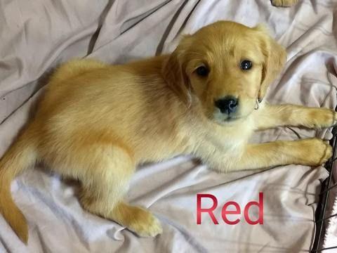 Golden Retriever Puppy For Sale In College Station Tx Adn 55186