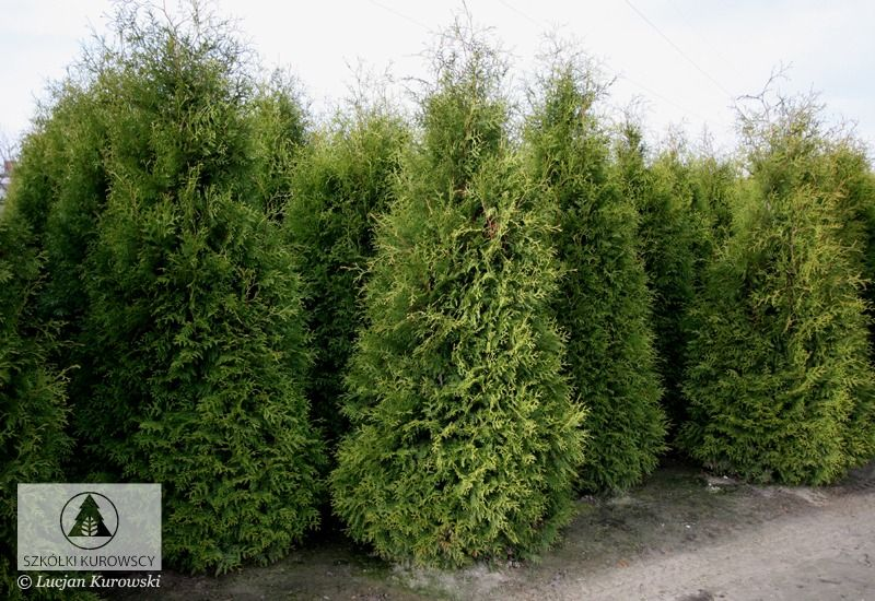 Thuja occidentalis 'Brabant' - Arborvitae, 'Brabant' Arborvitae | Spygliuočiai - kolonos formos ...