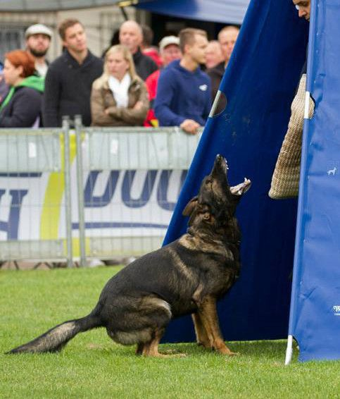 TOUCH this image: Trained German Shepherd For Sale by Guard