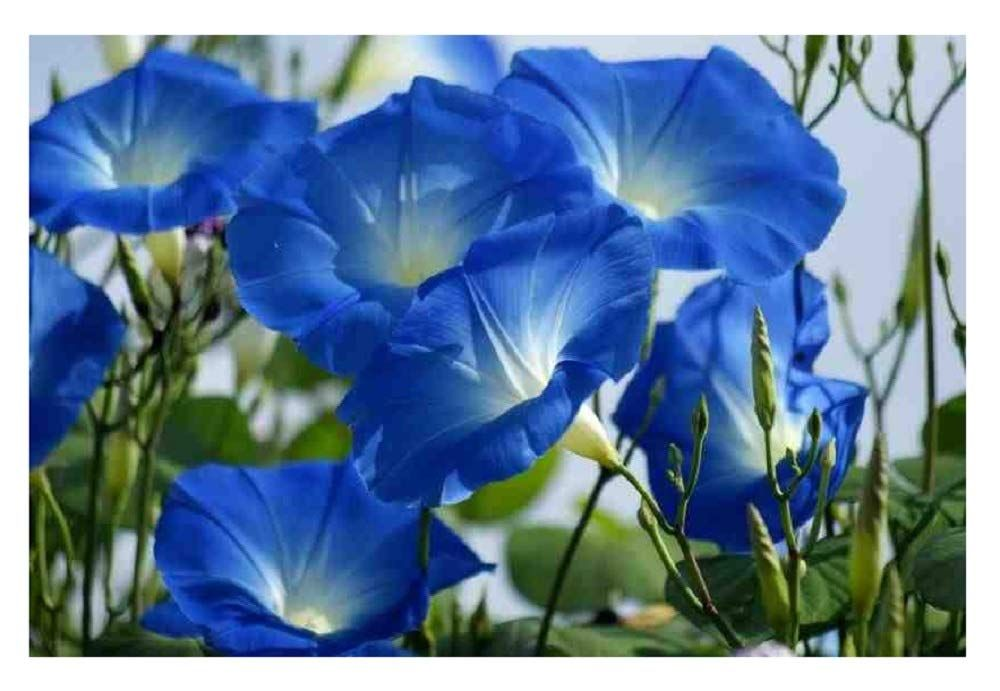 Flower Morning Glory Heavenly Blue Birth Flowers September Birth Flower Blue Morning Glory