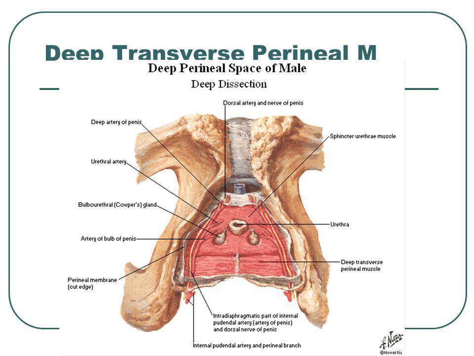 Deep Transverse Muscle Of Perineum Perineum Muscle Deep