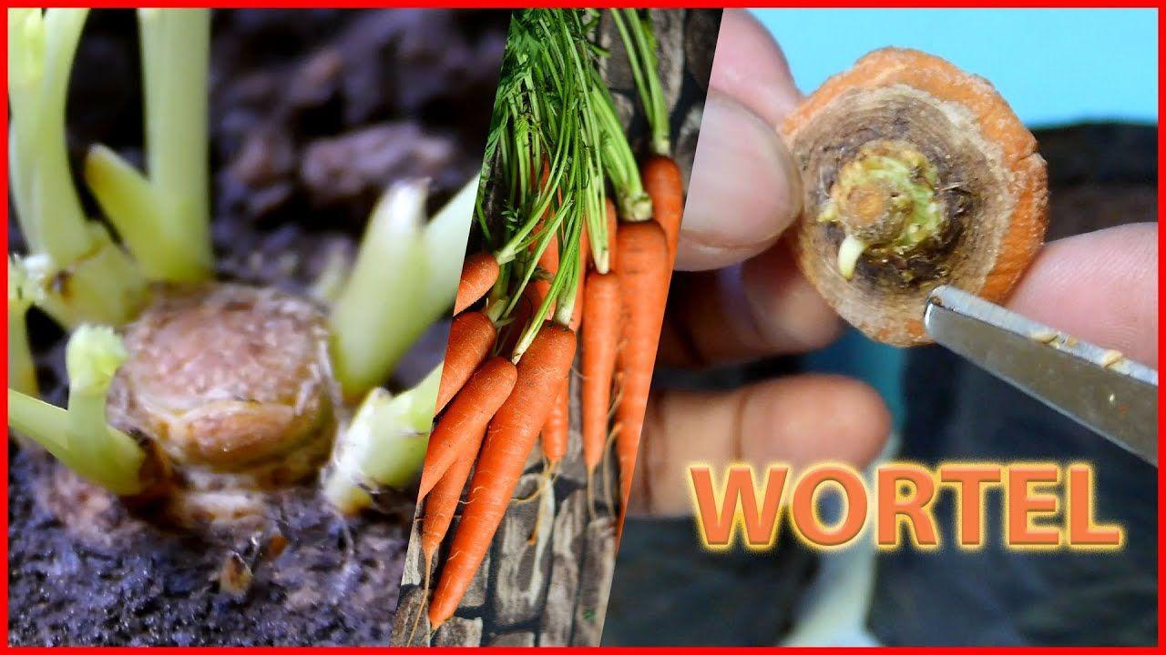 Tips Cara Menanam Wortel Dalam Pot Atau Polybag Dari Pasar Youtube Menanam Menanam Sayuran Wortel