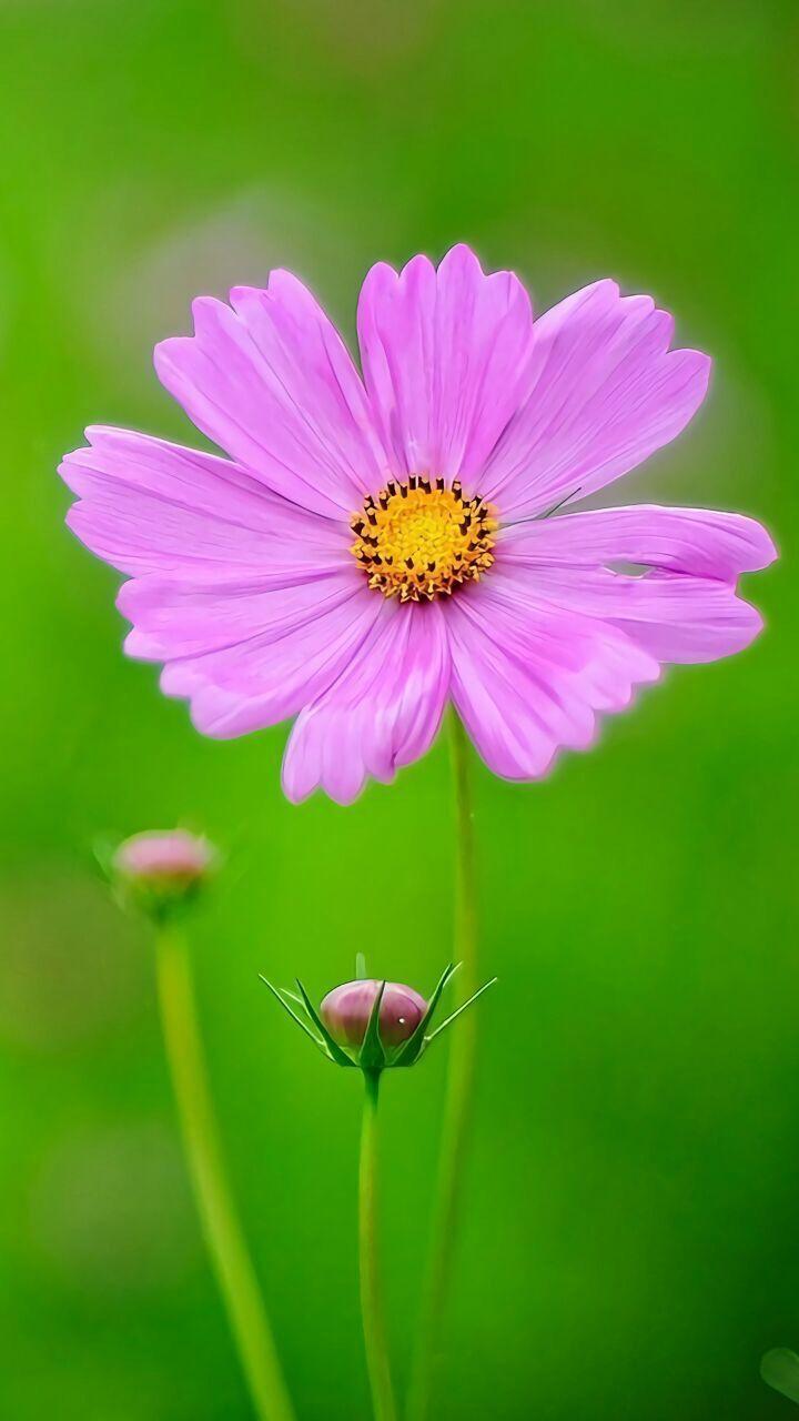 Pin By Jaruka Rybika On Kosmos Pinterest Cosmos Flowers And