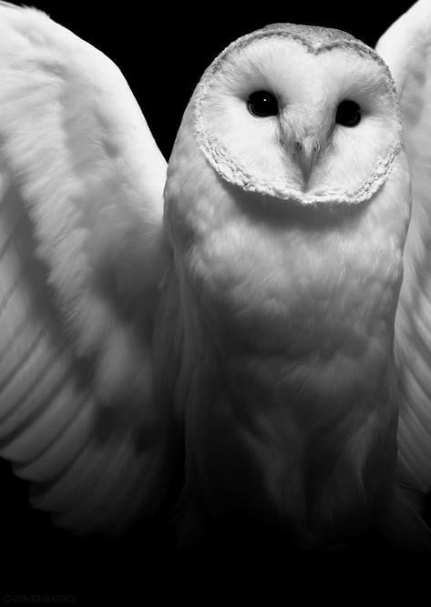 love the snow owl