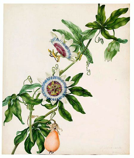 Philippa Crabtree Passion Flower Late 18th Century Vine Drawing Botanical Drawings Flower Drawing
