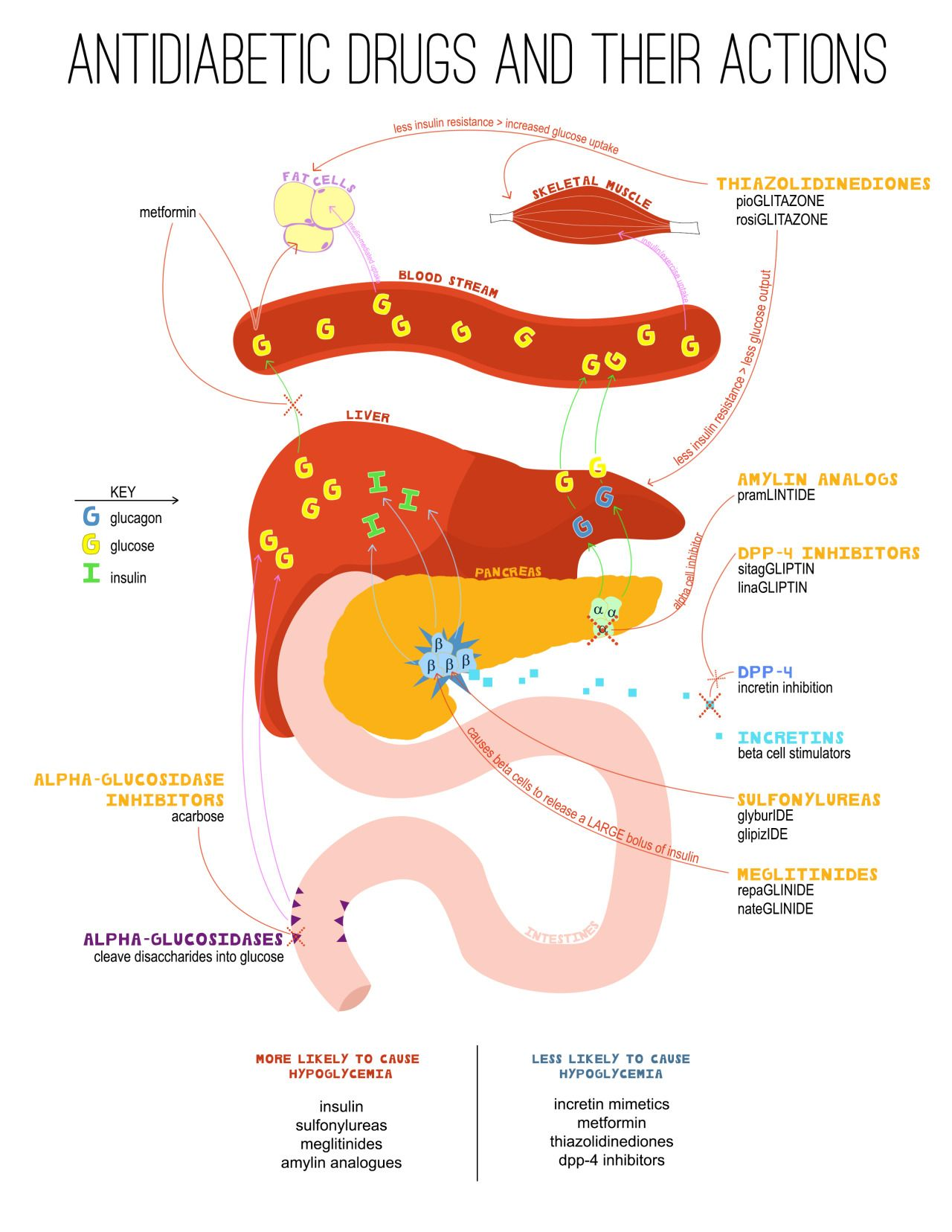 Cardiac Pharmacology Diagram | Quizlet
