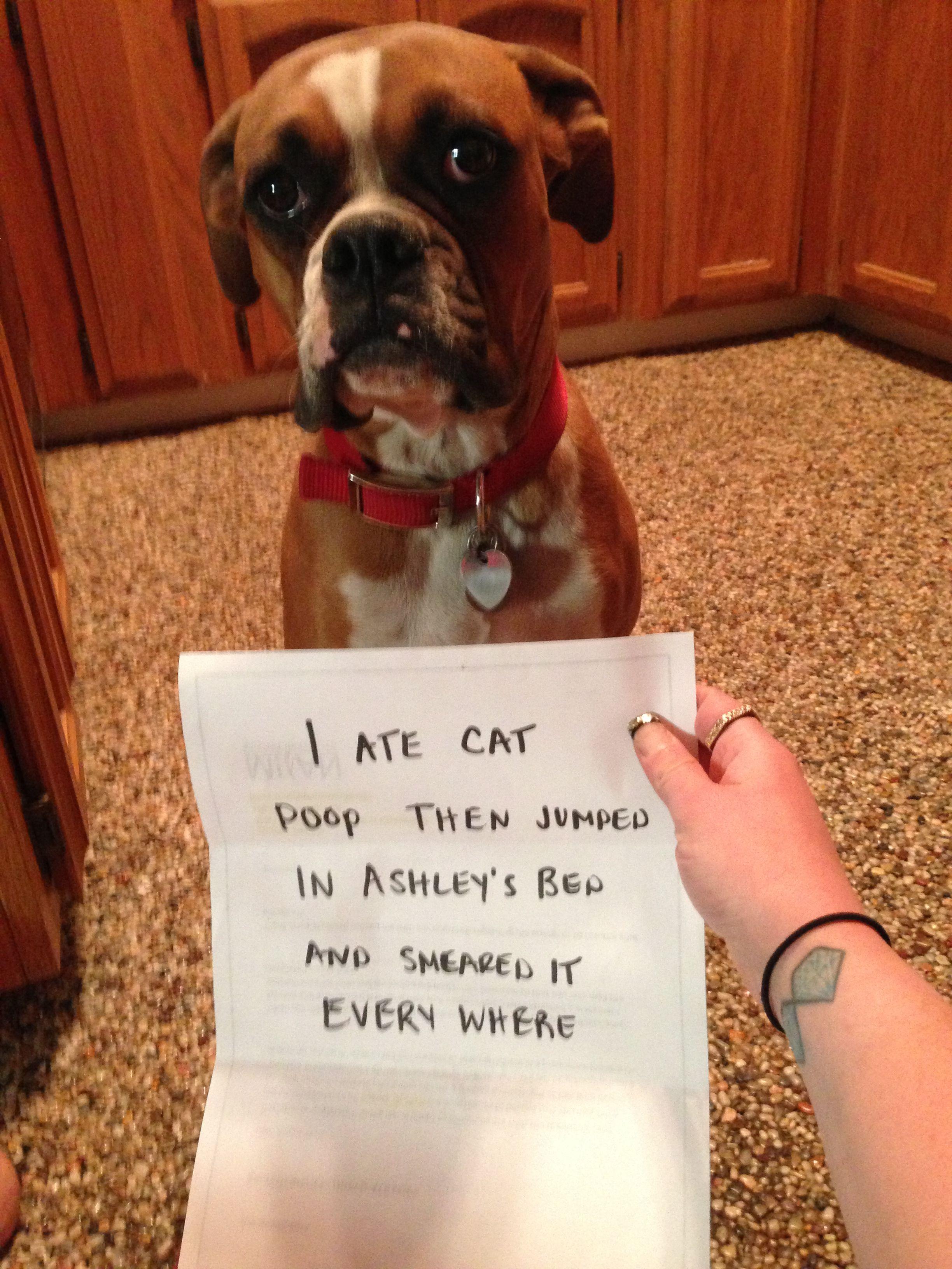 Bad Dog Boxer Dogs Funny Dog Shaming Dog Shaming Funny