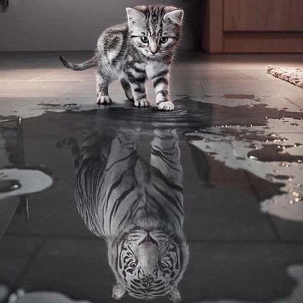 cat, kitty, reflection, tiger, water