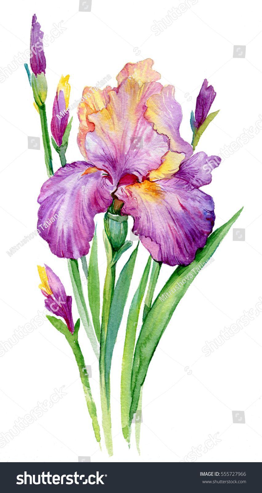 Purple Iris Illustration Watercolor Iris Flower Isolated On White Background In 2020 Watercolor Flowers Paintings Iris Painting Iris Drawing