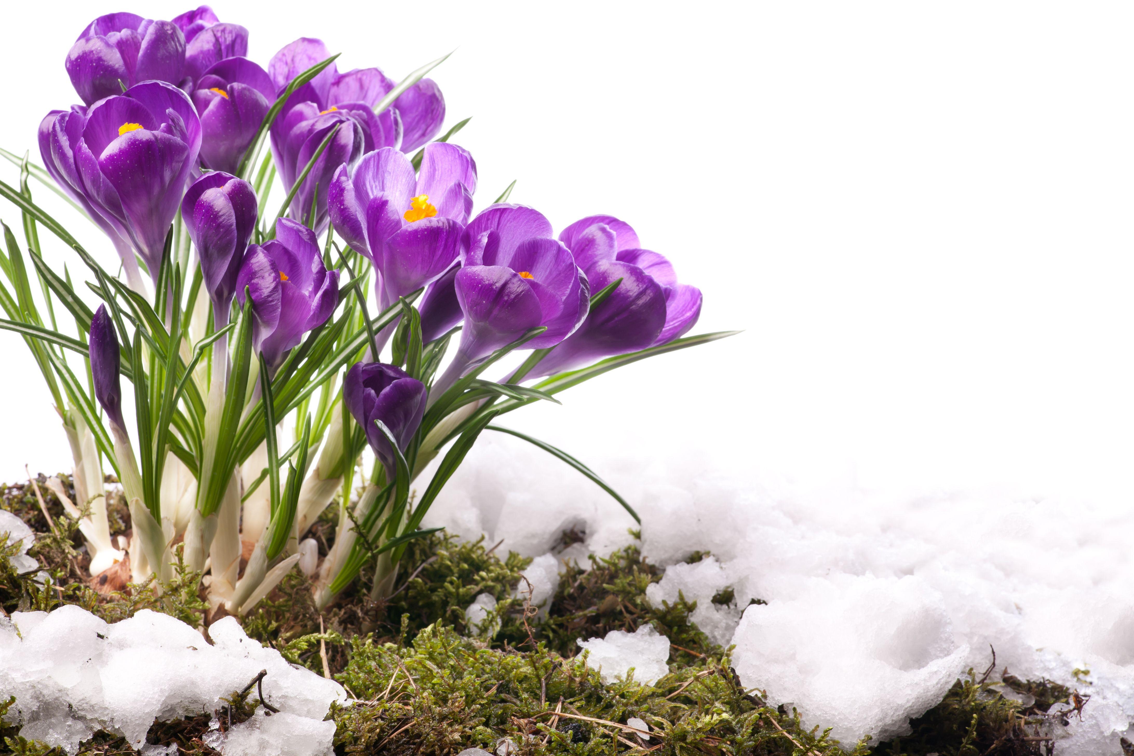 Открытки первые весенние цветы