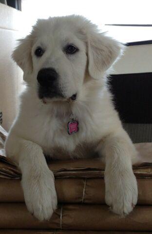Our beautiful Great Pyranese pup !   Great pyrenees, Great ...
