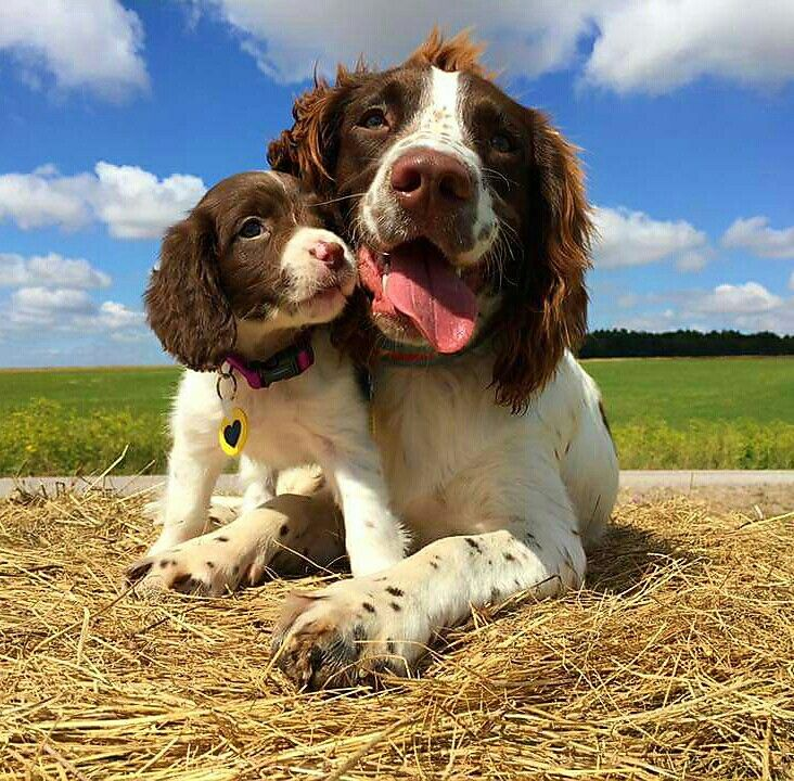 Pin By Ann Cyr On The Best Dog Breed Ever My Babies Spaniel Puppies Happy Dogs Springer Spaniel
