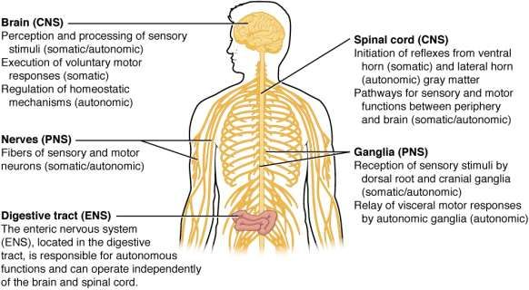 This Picture Labels The Different Parts Of The Nervous System And