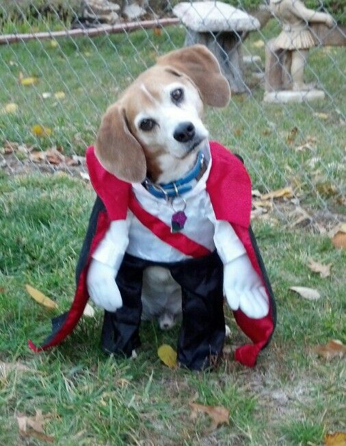 Beagle Dracula Dog Costume