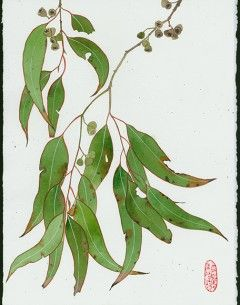 Gum Leaves Archives Gabby Malpas Flower Drawing Watercolor