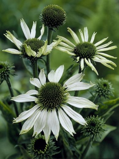 Darwin Plants - Perennials - Echinacea   The Great Outdoors ...