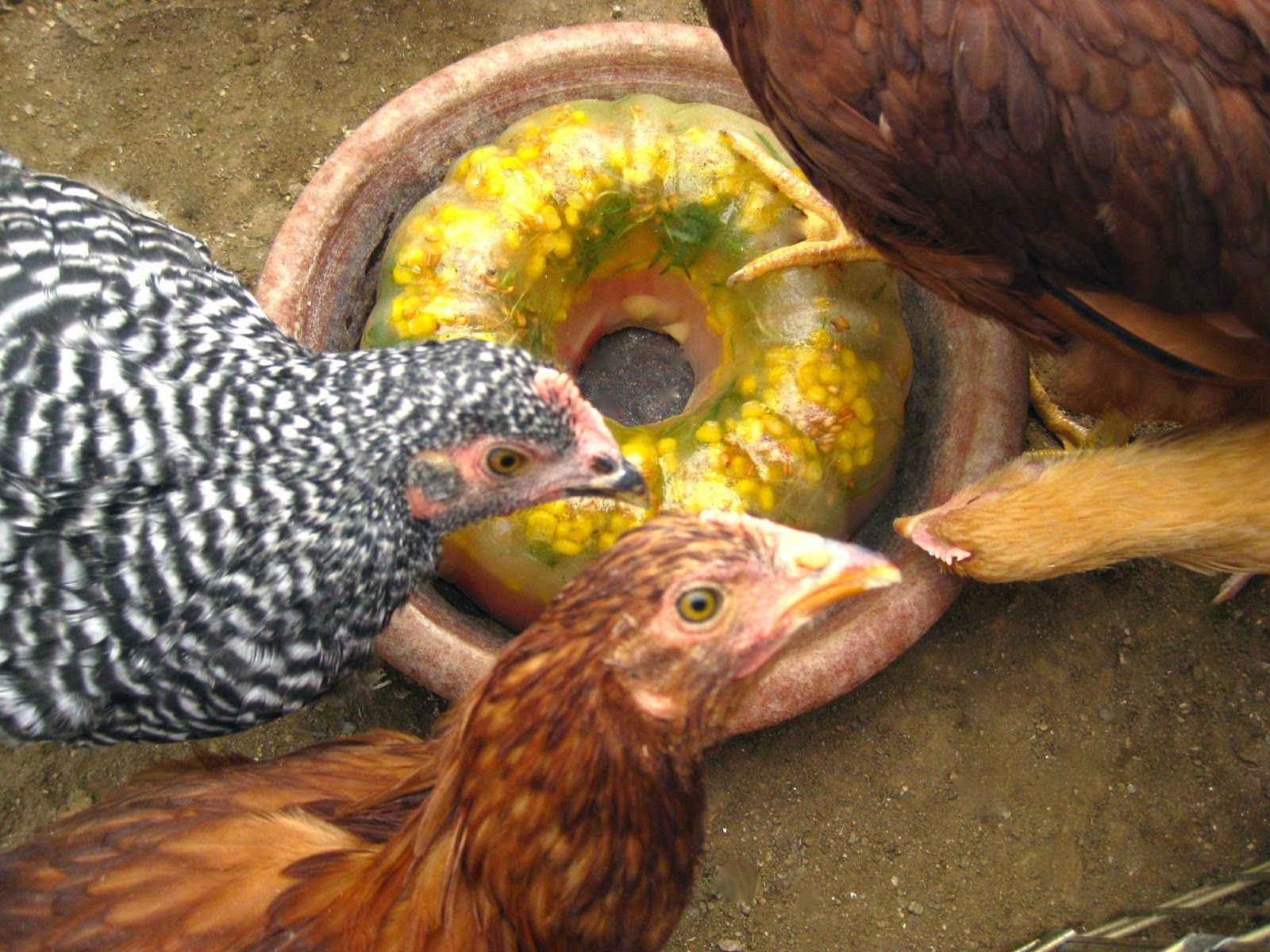 The Beehive Cottage Frozen Treat Ring for the Chickens