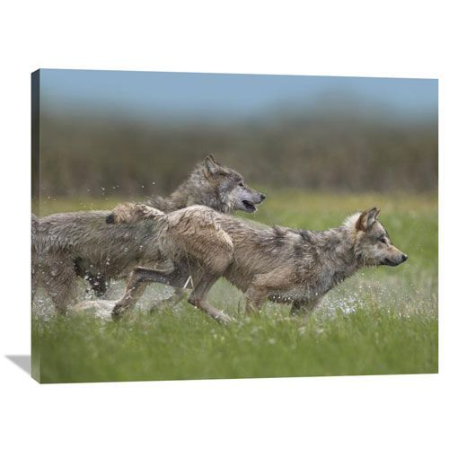 Gray Wolf Pair Running Through Water, North America By Tim Fitzharris, 30 X 40-Inch Wall Art