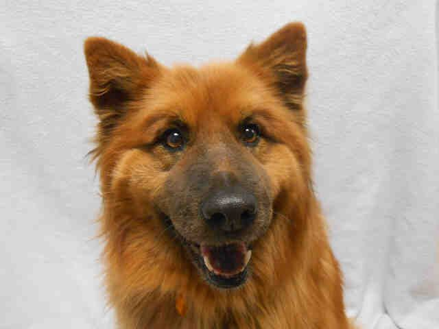 Teddie A410717 Need A Laugh Teddie Is One Goofy Gal And She S Ready To Cheer You Up She S A 7 Year Old Female Chow Ch Dog Adoption Animals Animal Shelter