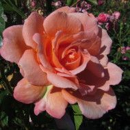 Scent From Heaven Chewbabaluv Rose Of The Year 2017 Climber Climbing Roses David Austin Climbing Roses Rose