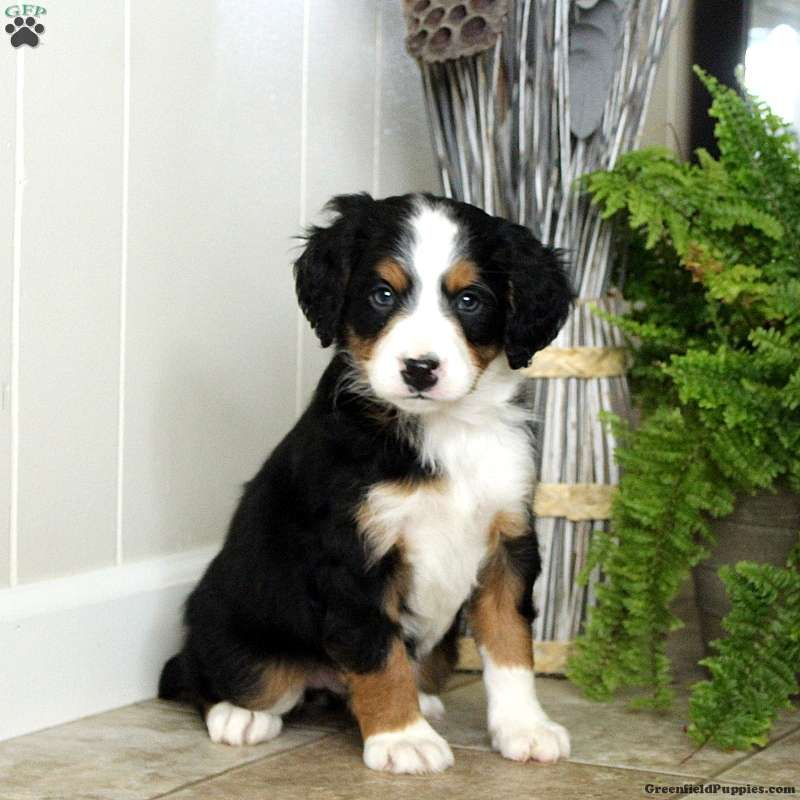 Mini Bernedoodle Puppies For Sale Greenfield Puppies In 2020 Bernedoodle Puppy Greenfield Puppies Bernedoodle