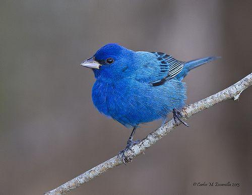 Indigo Bunting Flickr Photo Sharing Birds Merlin Bird