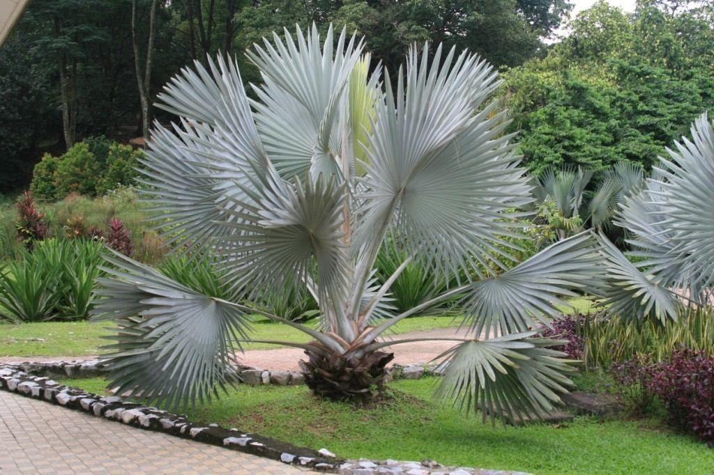Bismarkia nobilis  321f8c64b516c